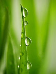 Fotorolgordijn Paardebloemen en water green grass straws with drops