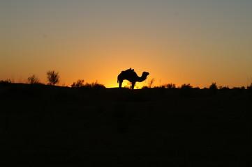 Camel Silhouette 3