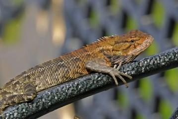 monitor lizard in the gardens