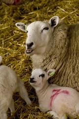 Fototapete - sheep and lamb