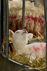 Fototapete - lamb