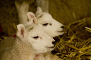 Wall Mural - lambs