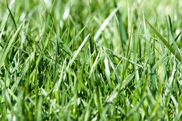 Green grass background closeup