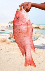 Fresh catch - red snapper