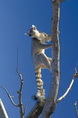 lemure nel blu