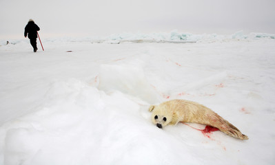 Baby harp seal pup on ice