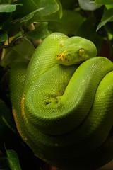 Grüne Python - Morelia viridis