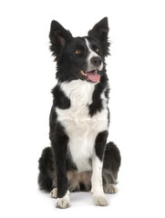Border Collie (2 years)
