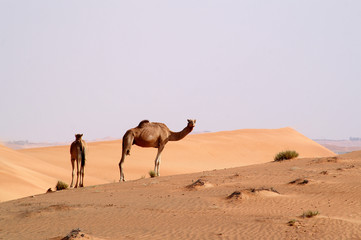 camels in the desert 11