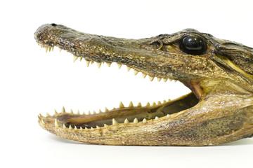 Baby Alligator Head 1