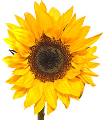Vibrant yellow Sunflower Isolated on white background