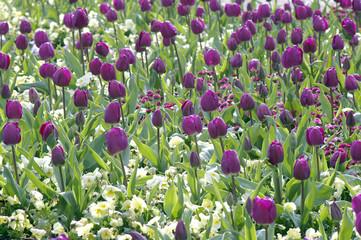 massif de tulipes