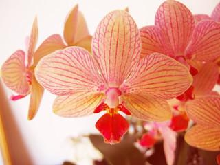 Flower - Phalaenopsis Orchidaceae