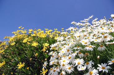 Margaritas blancas y amarillas con cielo azul