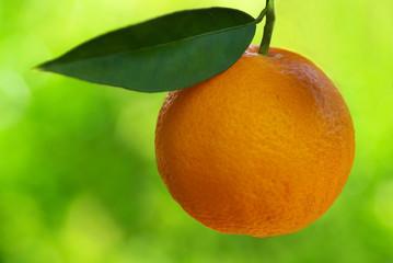A mature orange in the tree.