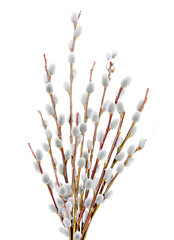 pussywillow branches over white