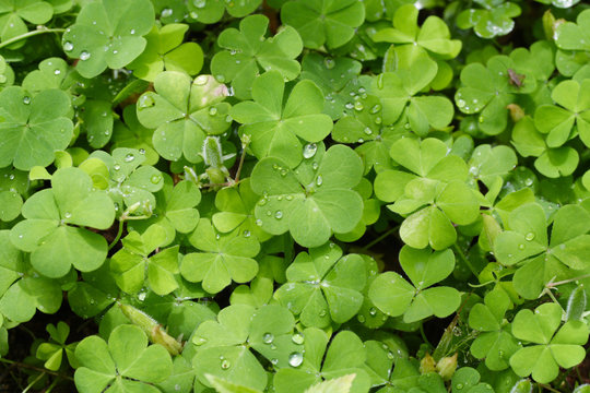Water droplets on clover leaves