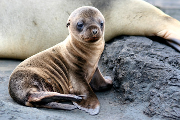 Sea Lion Puppy from Galapagos Islands
