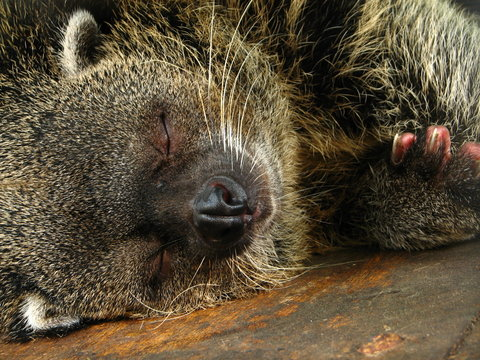 Sleeping Bearcat at Manila Zoo