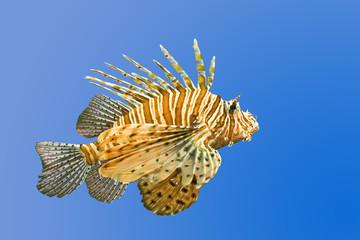 lionfish on blue background