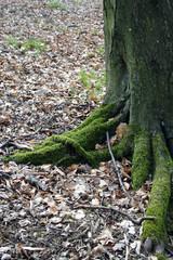 tronco con  radici