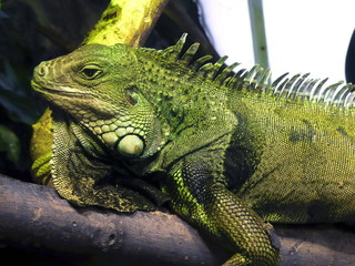 Iguana resting...