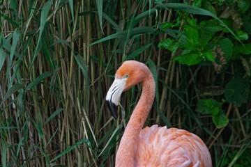 Cuban flamingo (Phoenicopterus ruber ruber)