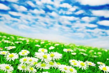 Daisies under the clouds