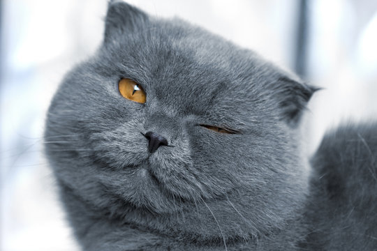 scottish fold cat is smiling and wink
