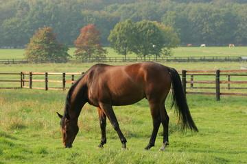 Pferde - Pferd auf Weide