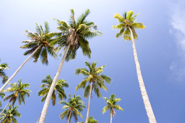 Island Coconut Trees