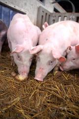 Eating pigs
