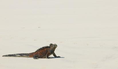 marine iguana in the beach