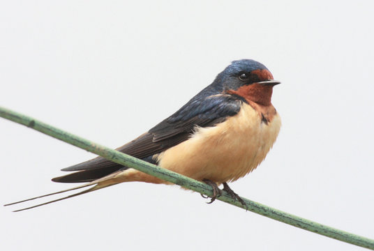 Barn Swallow (Hirundo rustica) perched on a wire