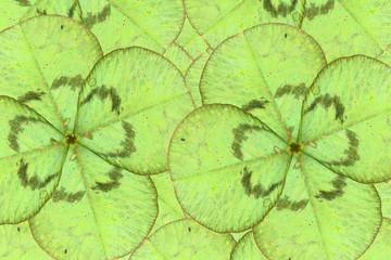Green four leaf clover background