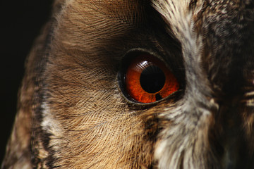 Eye of an Owl