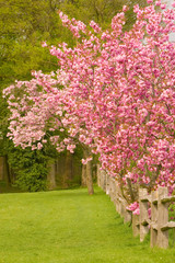 Cherry Blossom Trees along a Post and Rail Fence