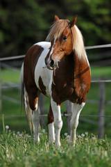 Pferd auf Weide (paint horse)