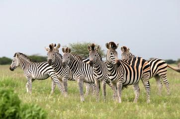 Aluminium Prints Zebra Herd Burchell's zebras