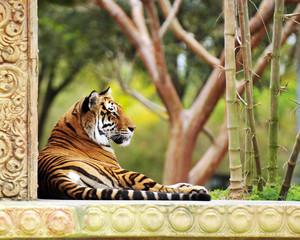 A Garden tiger.