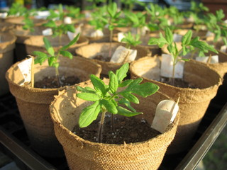 Obraz seedlings - fototapety do salonu