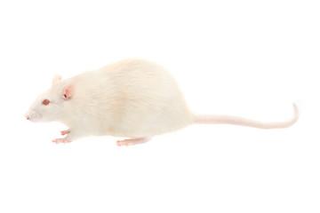 albino rat