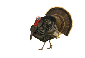 Turkey tom strutting isolated on white