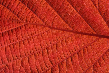 Lighten red leaf with visible structure