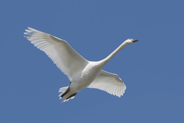 Fotoväggar - Mute Swan (Cygnus olor) in flight