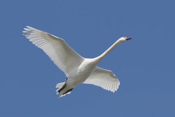 Fotoväggar - Mute Swan (Cygnus olor) in flight