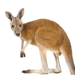 Foto op Aluminium Kangoeroe Young red kangaroo (9 months) - Macropus rufus