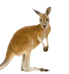 Photo sur Plexiglas Kangaroo Young red kangaroo (9 months) - Macropus rufus