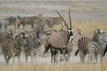 Oryx-Antilope