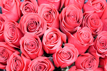 red pink roses